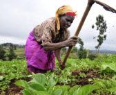 Arazileri iştah kabartan Afrika'da organik tarım