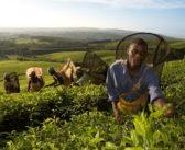 Çayda Türkiye-Afrika işbirliği