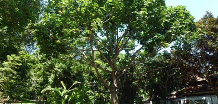Batı Afrika'nın kutsal ağacı: Kola