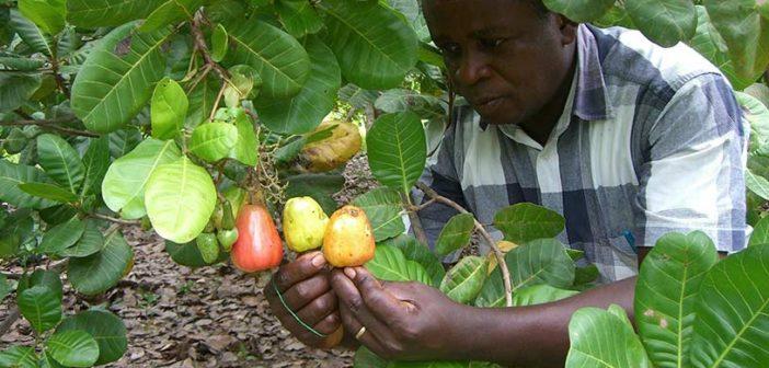 KAJU: Fakirin ağacı zenginin gıdası